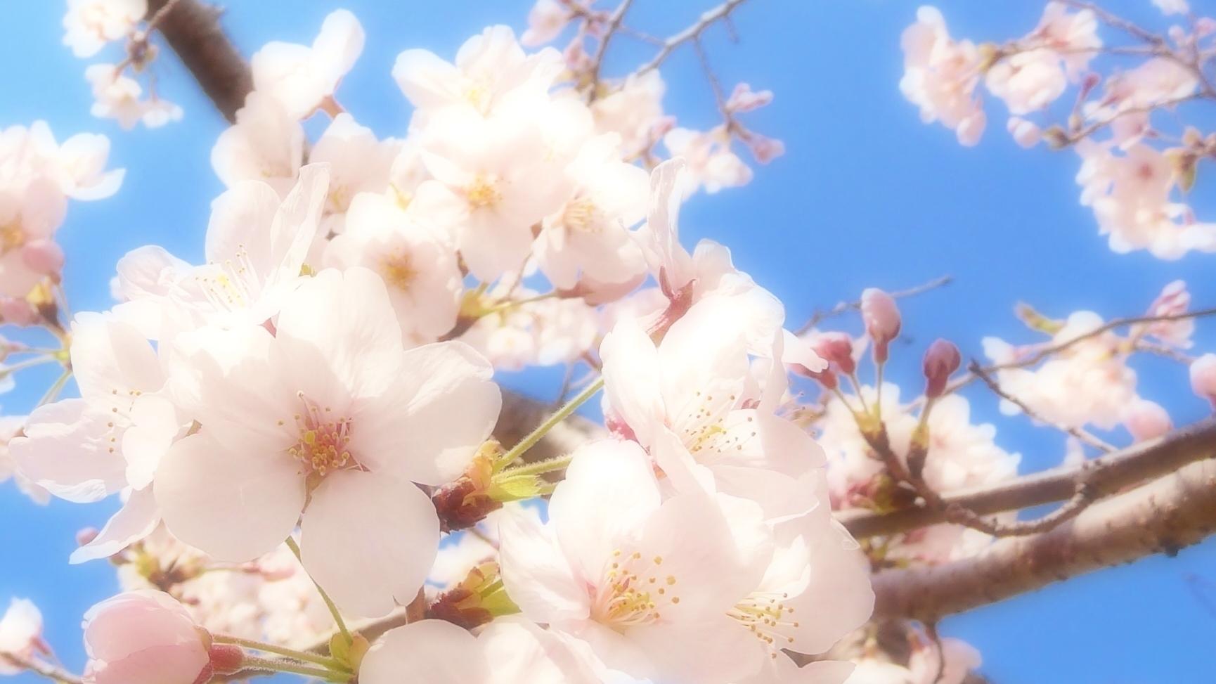 スタバのさくら咲いたベリーフラペチーノ!カロリーと期間いつまで?